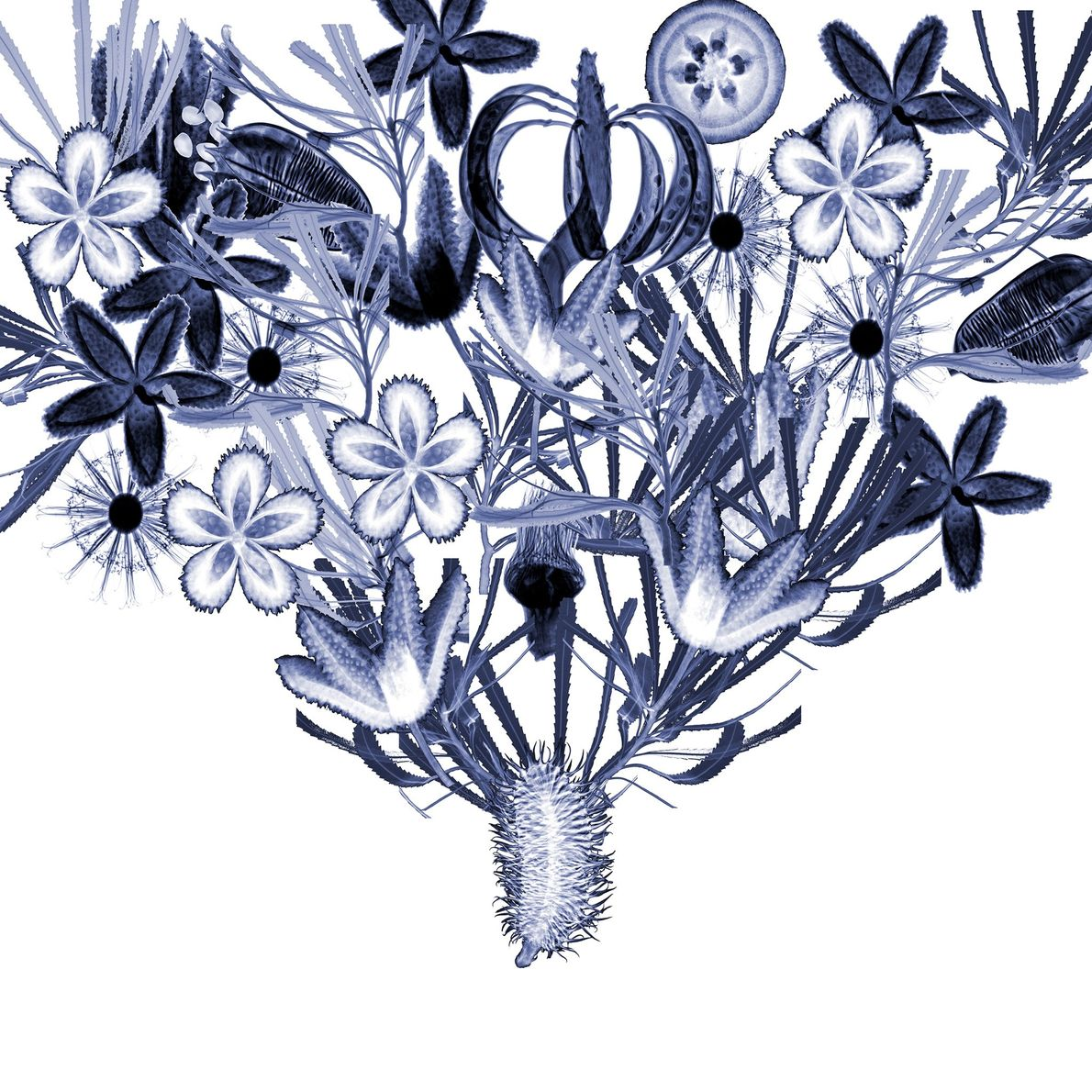 This collage of x-rays showcases a variety of plants that are unique to Australia, including banksia ...