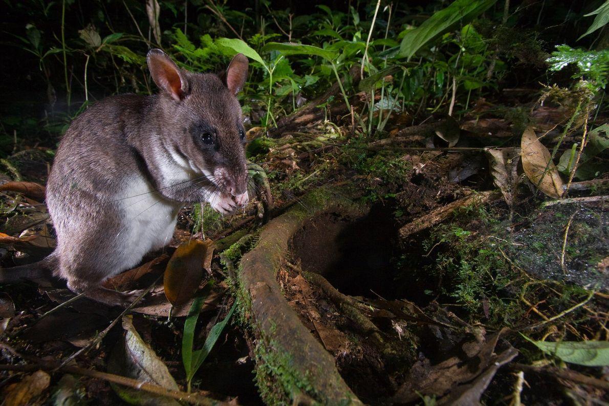 Giant Pouched Rat