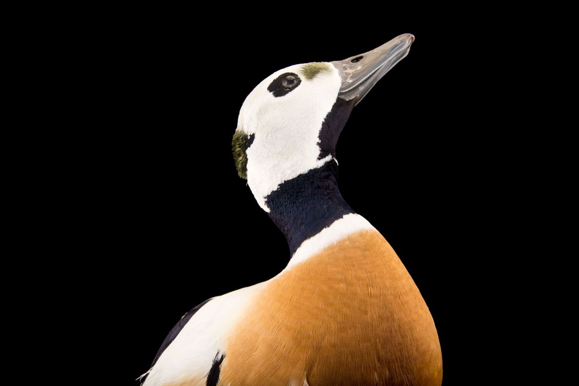 A vulnerable, federally threatened male Steller's eider, Polysticta stelleri, at the Alaska SeaLife Centre.