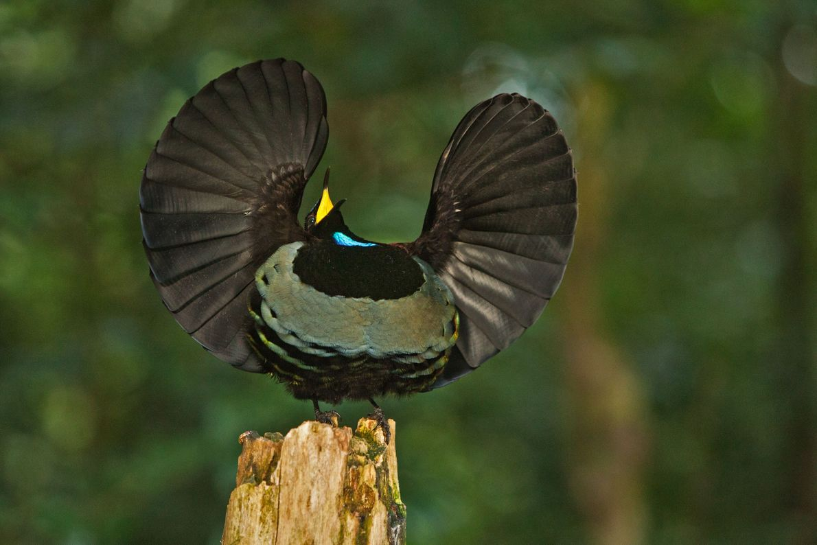 A male Victoria's riflebird on display.