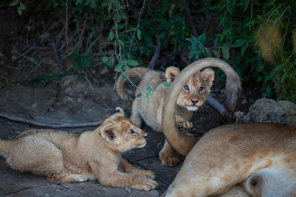 A pair of lion cubs from the Barafu pride play with their mother's tail.