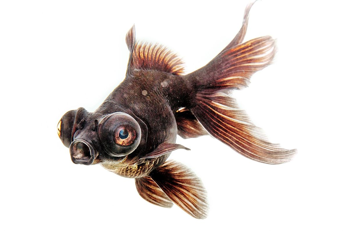 Telescope goldfish, such as this one, are also called dragon-eye goldfish.