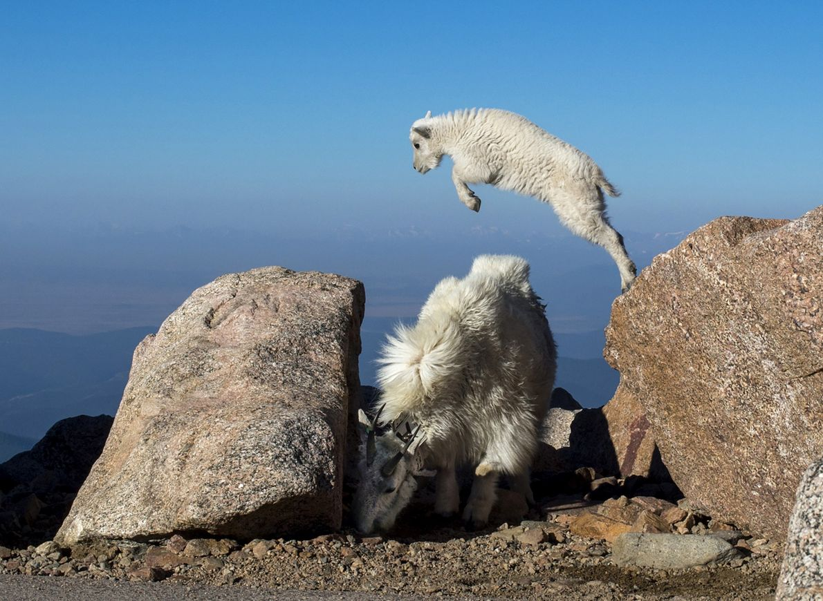 A baby mountain goat springing from a rock in Idaho Springs, Colorado.
