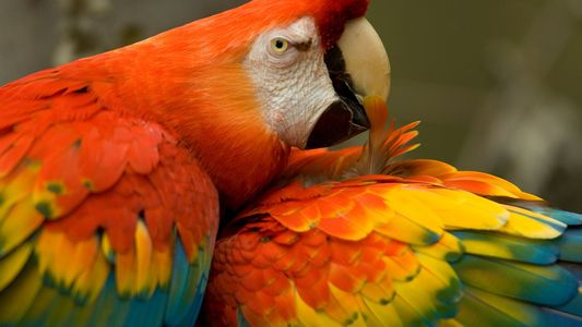 Early Native Americans Imported Exotic Parrots, DNA Reveals