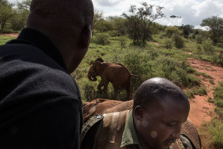 A calf is chased off after its mother was tranquilised in Tsavo West National Park.