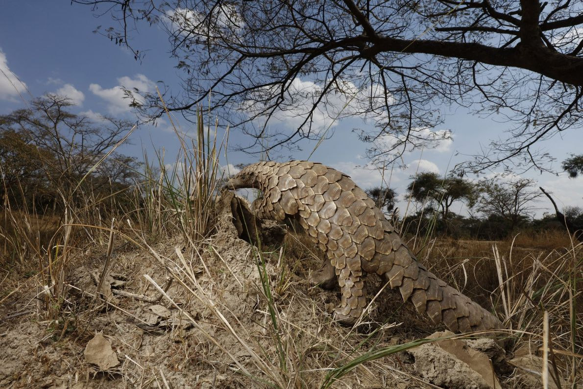 A pangolin climbs up a mound of dirt, trying to figure out if it's full of ...