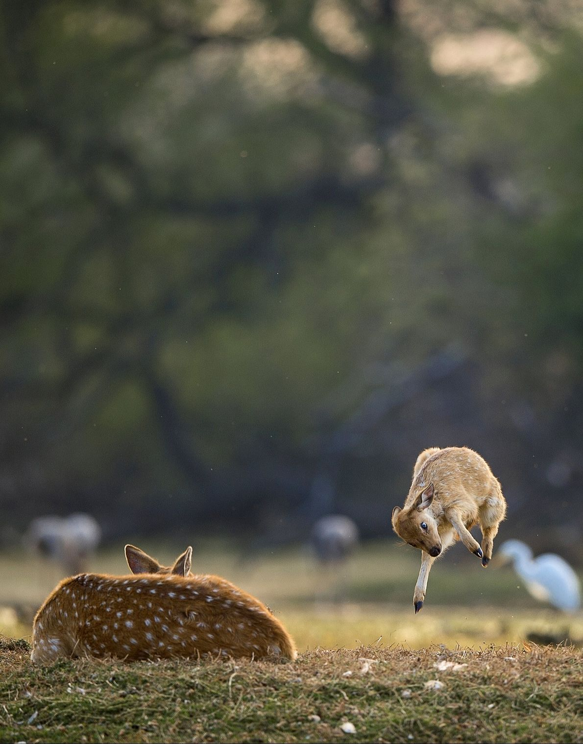 Your Shot photographer Nitin Dua documented this moment of a fawn wanting to play with its ...