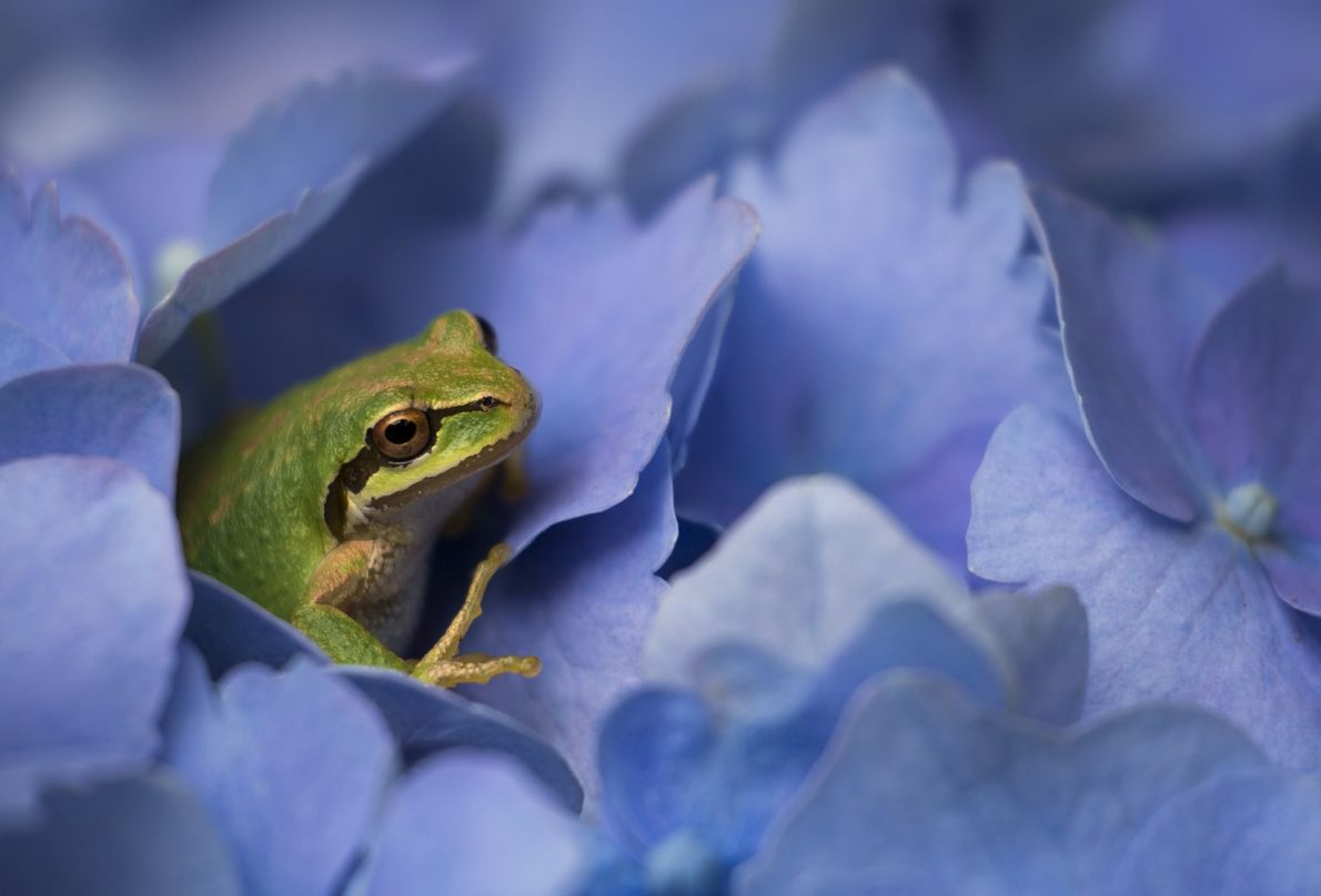 """""""I was photographing hydrangeas and as I stepped back, I noticed a few tiny tree frogs ..."""