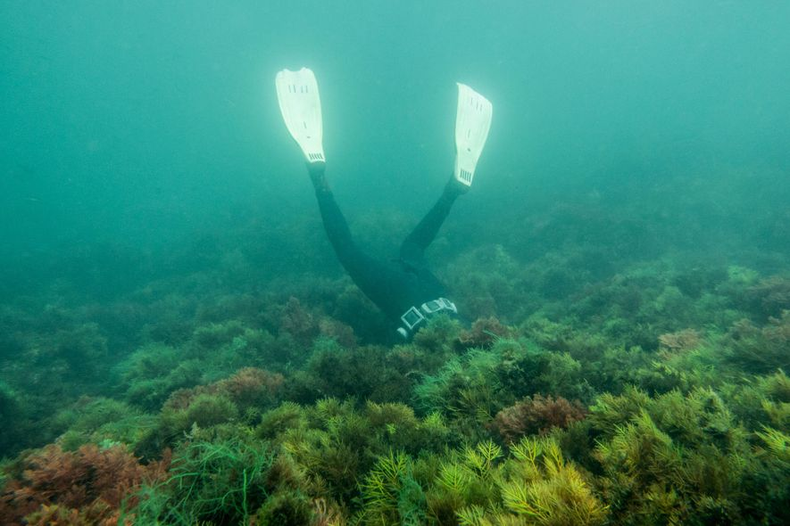 Ibrahim Morsli scratches beneath the seaweed for sea cucumbers. In six hours, he found fewer than ...