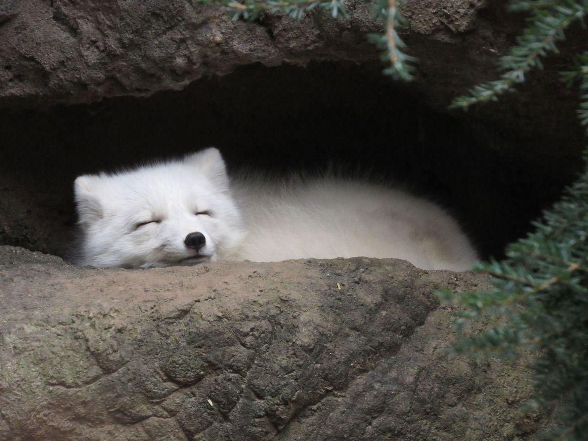 An arctic fox sleeps in his den.