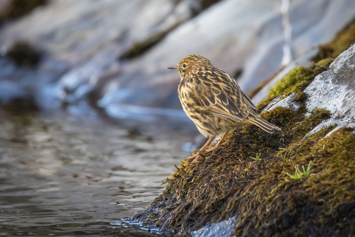South Georgia pipits are already showing recovery as the rats declined.