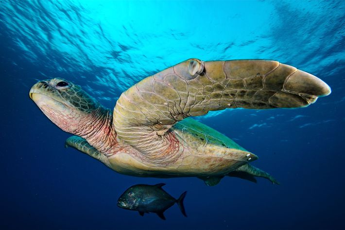 A jack swims in the shadow of a large green sea turtle on Tubbataha Reef's North ...