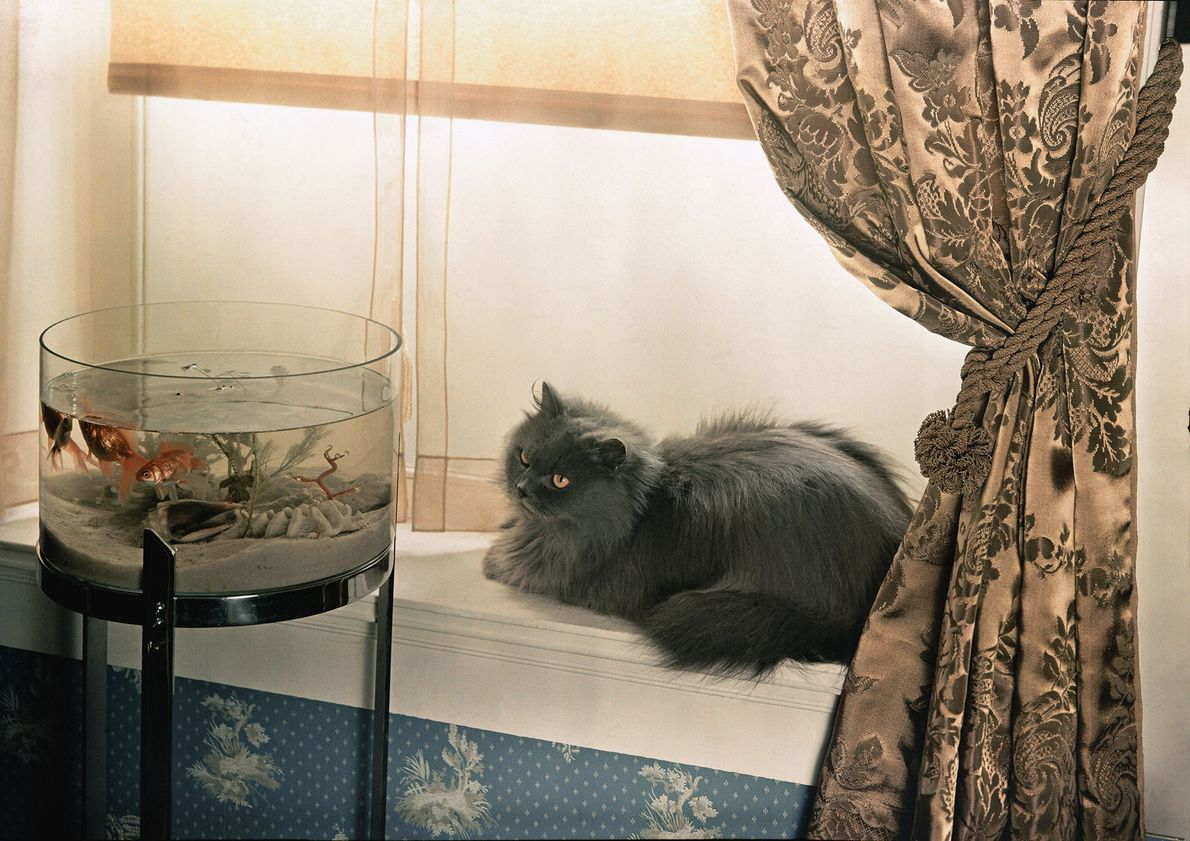 A blue Persian stares intensely at a goldfish bowl in Washington, D.C.