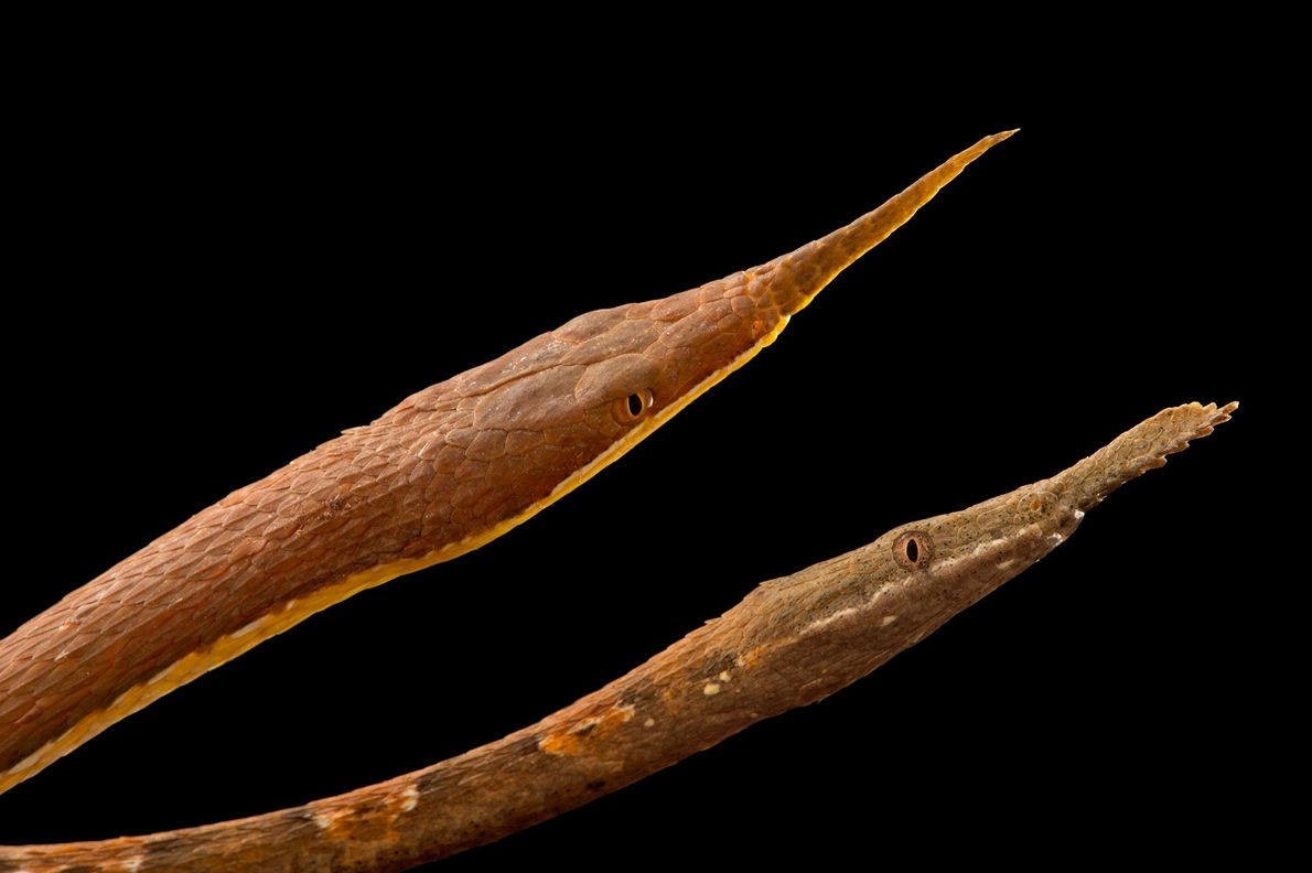 The Madagascar leaf-nosed snake also known as Langaha snakes, 'Langaha madagascariensi'.