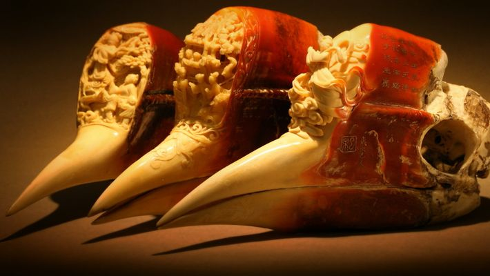The Helmeted Hornbill's Nesting Habits Might Cause Its Demise