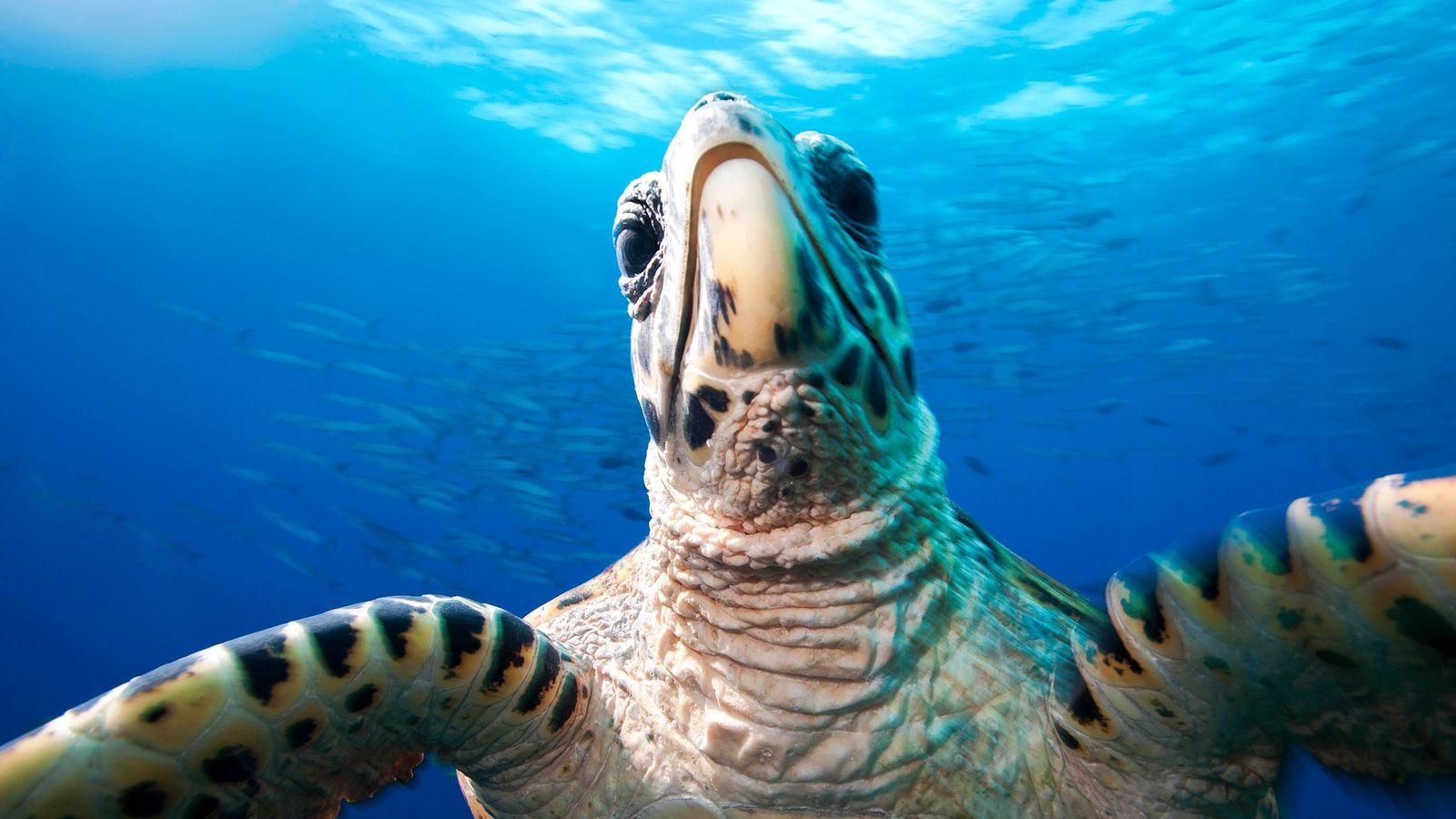 A hawksbill sea turtle, Eretmochelys imbricata, at Jayne's Gulley in Kimbe bay Papua New Guinea.