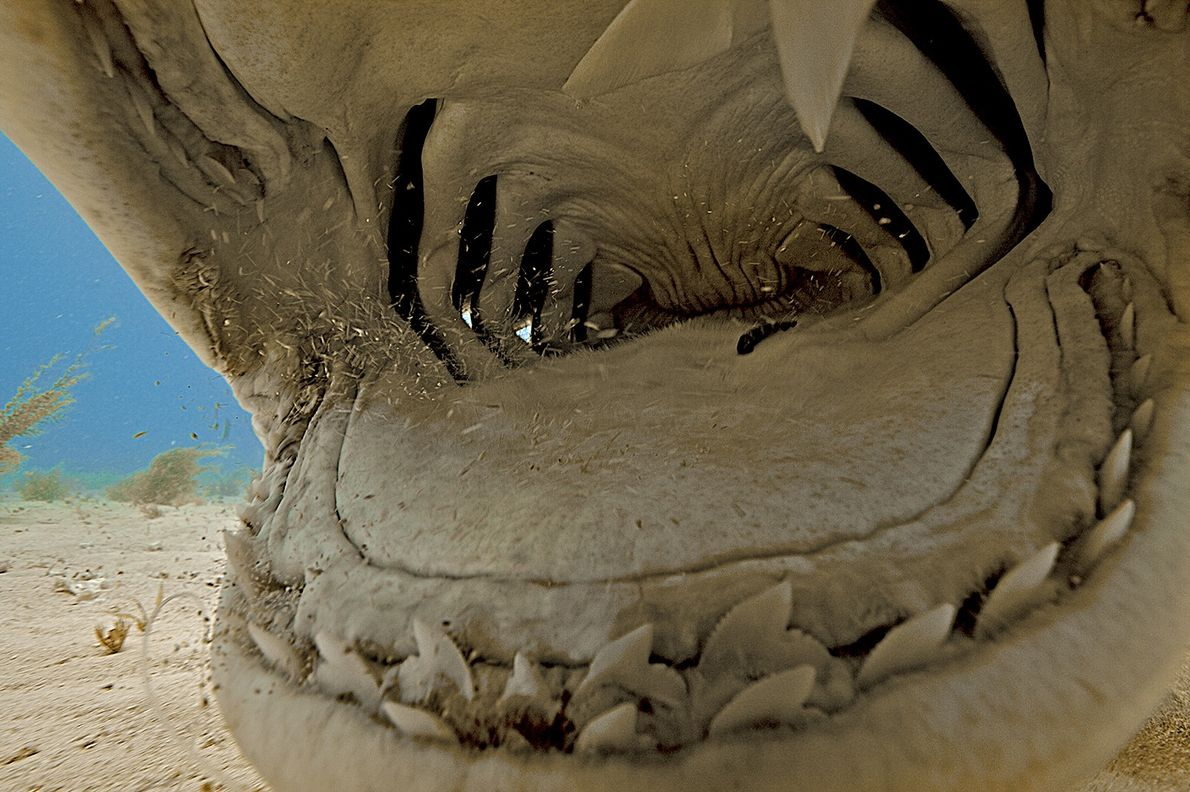 This extreme close-up reveals the inside of a tiger shark's mouth.