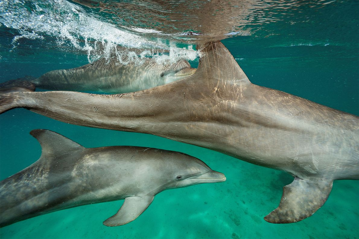 University of Mississippi scientist Stan Kuczaj is studying how 30 semi-captive dolphins learn and cooperate in ...