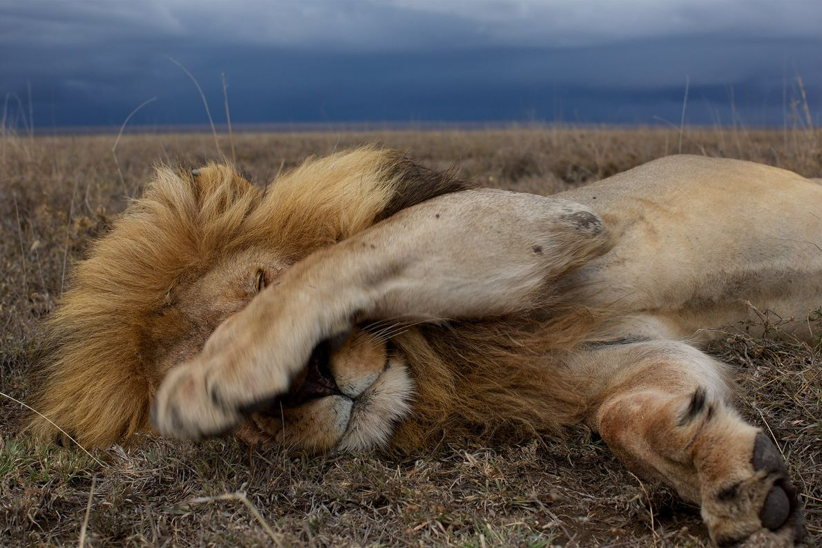 A lion sleeps in the plains of Serengeti National Park. The picture was taken by a ...