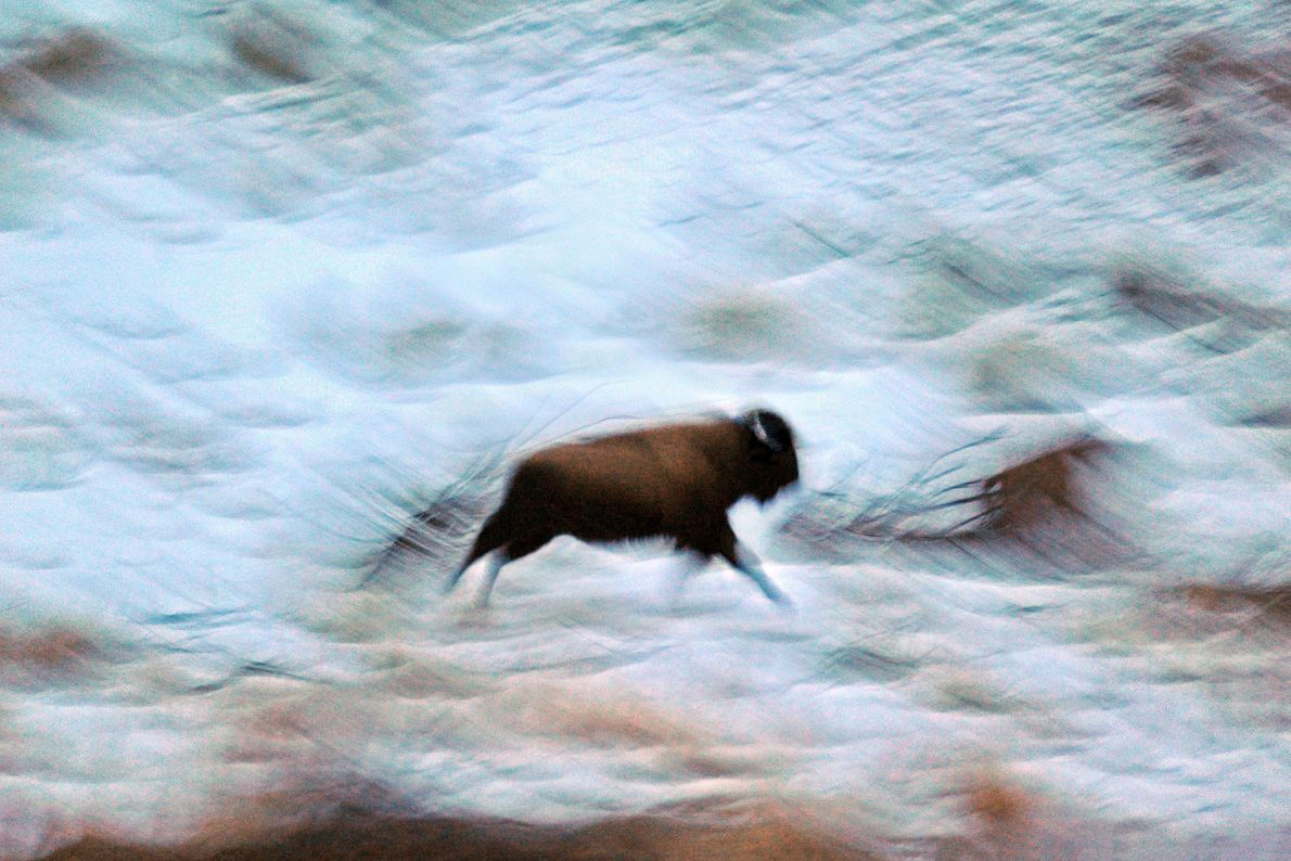 """""""A solitary bison on the run in winter resembles ancient art as it pounds across the ..."""