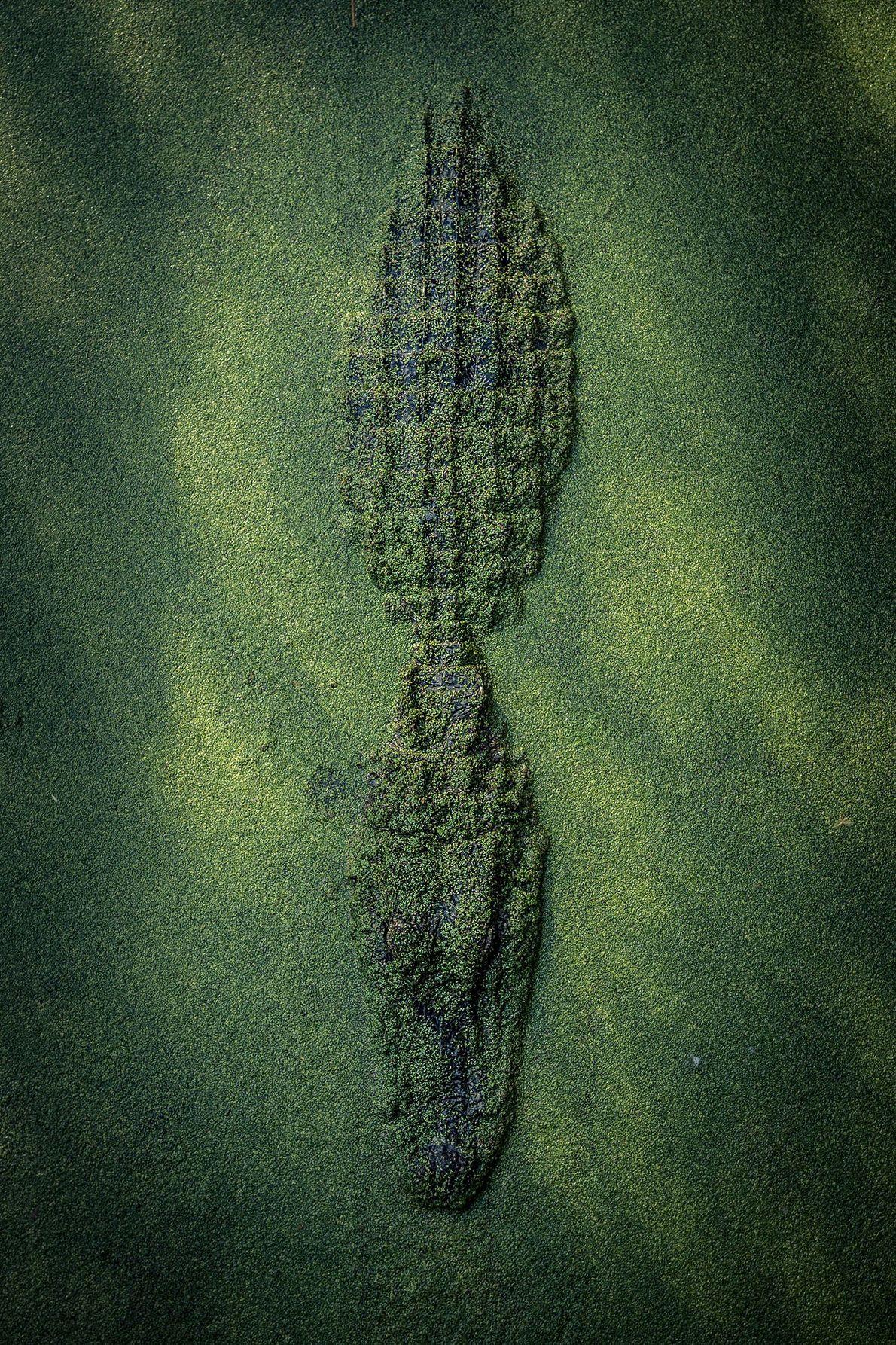 Alligator, New Orleans, Louisiana, United States.