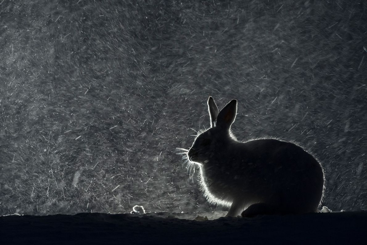 A mountain hare in snow at night in Norway.