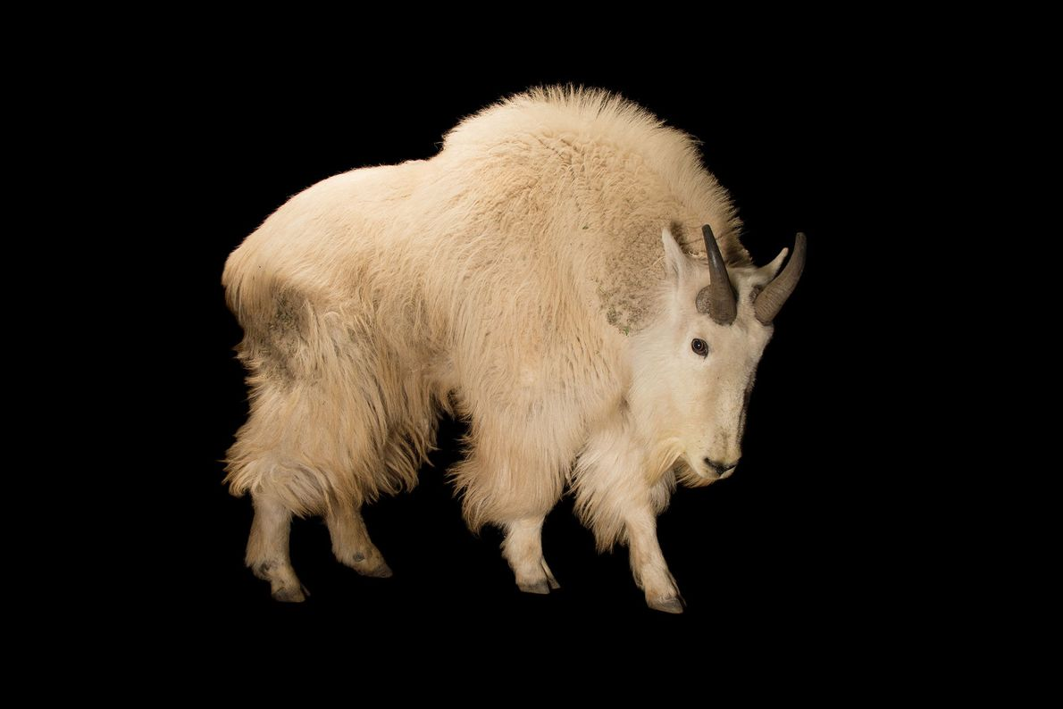 This male mountain goat shows off its stubby set of black horns. These high-altitude animals live ...
