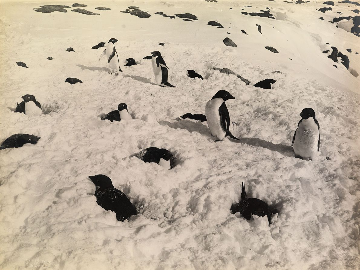 A group of Antarctic penguins in the snow.