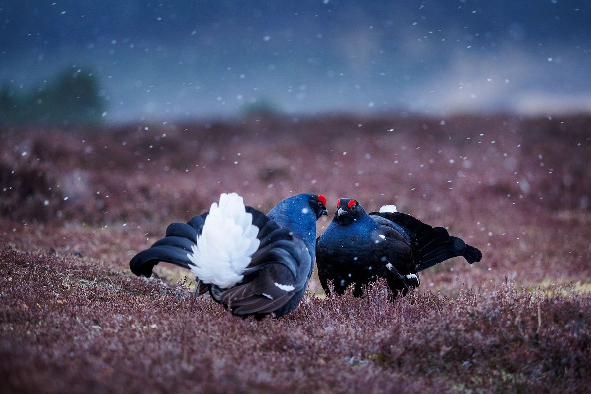 Black grouse perform a mating ritual, Scotland.