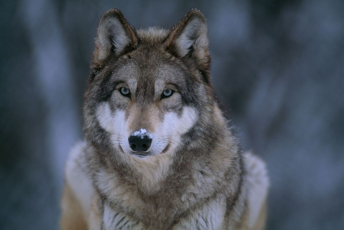 A gray wolf (Canis lupus) in the snow. Wolves are the only species among the top ...