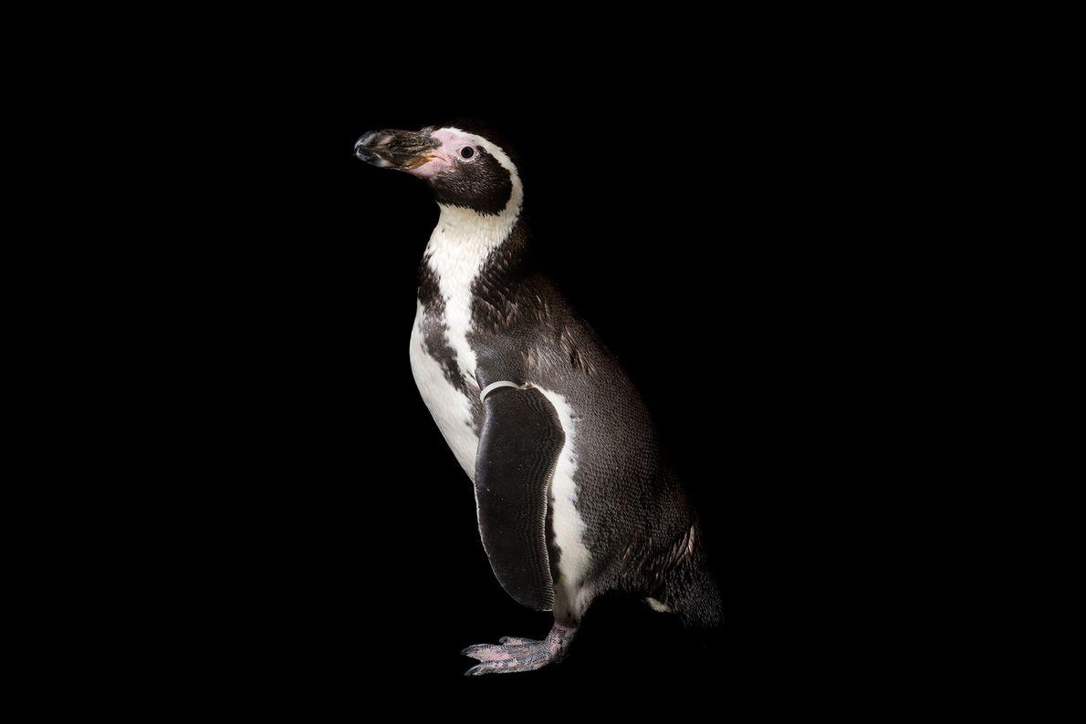 A Humboldt penguin (Spheniscus humboldt) at Great Plains Zoo.