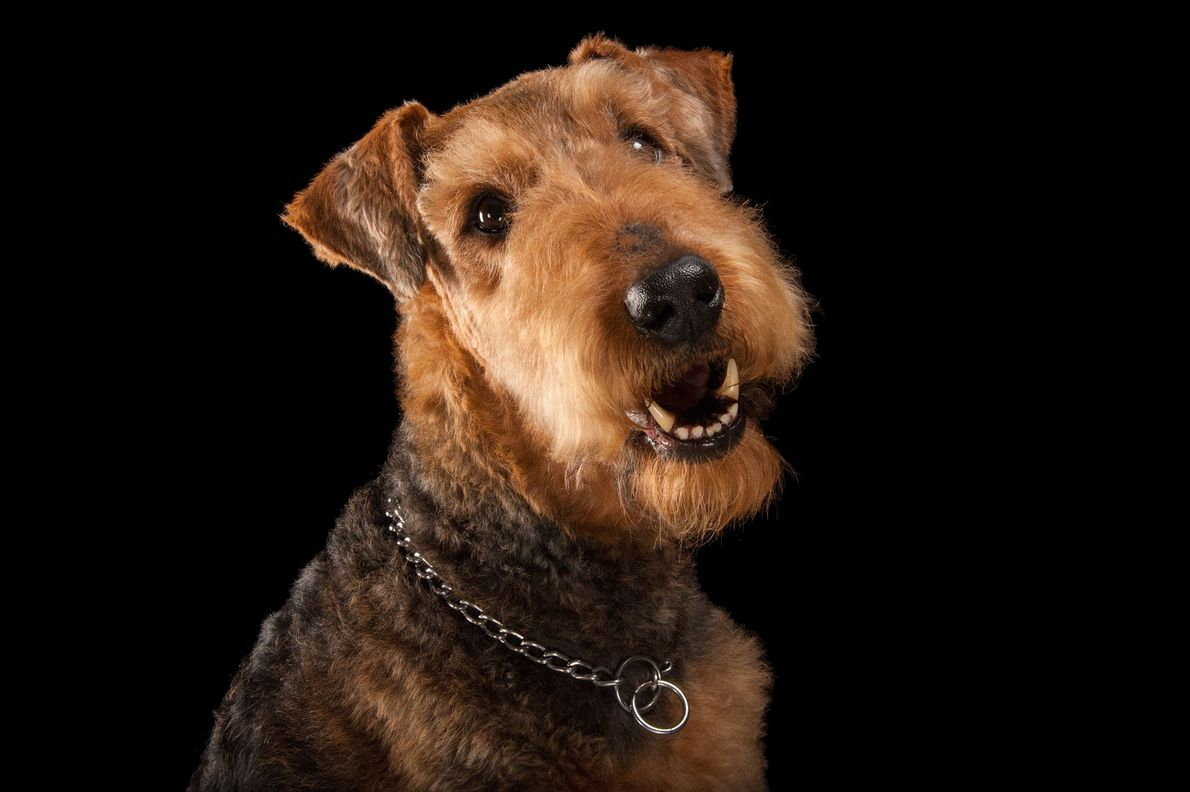 An Airedale terrier.