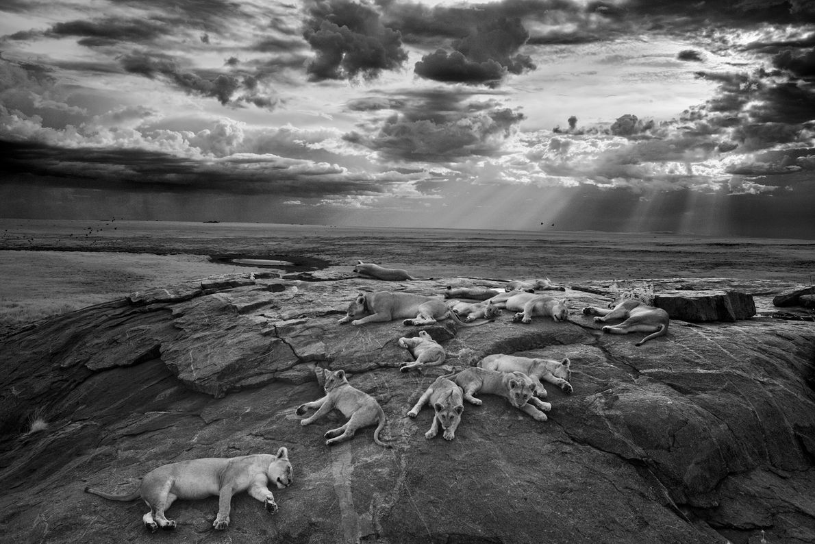 Lionesses and cubs from the Vumbi pride rest on a kopje, a rocky outcrop, near a ...