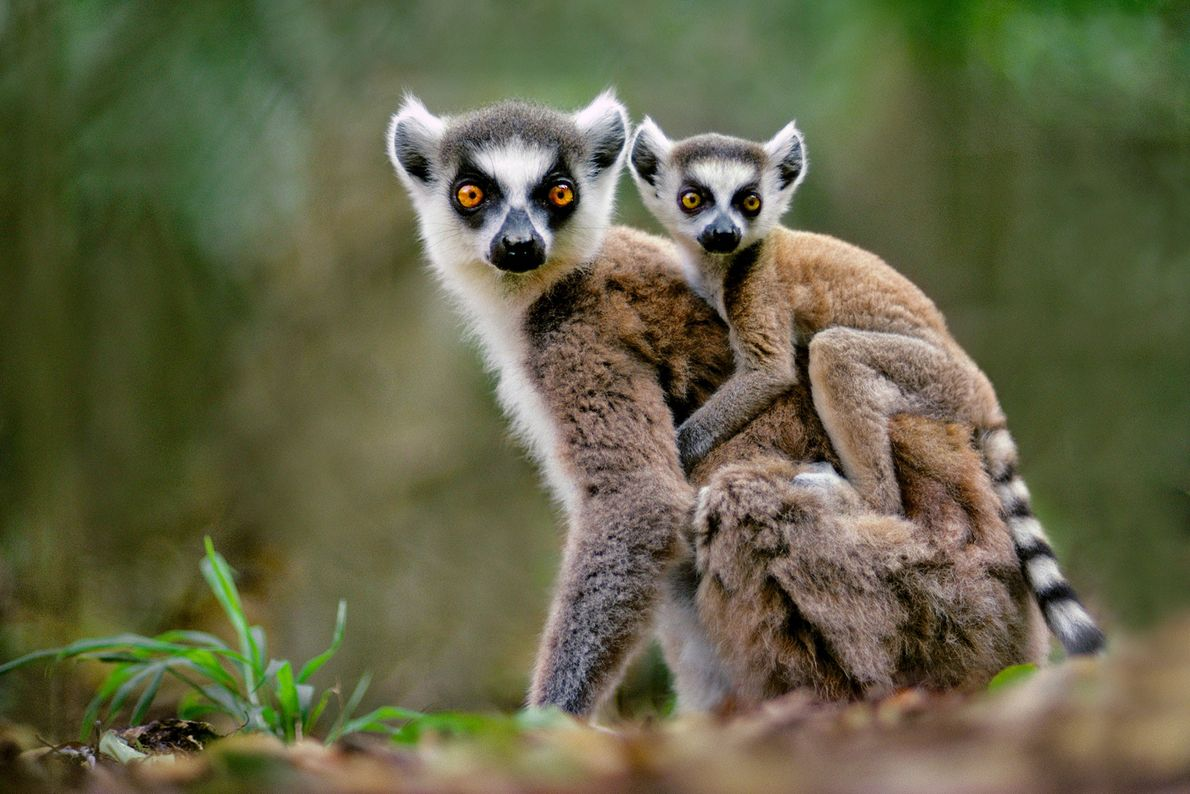 A ring-tailed lemur carries her baby through Berenty Reserve, Madagascar.