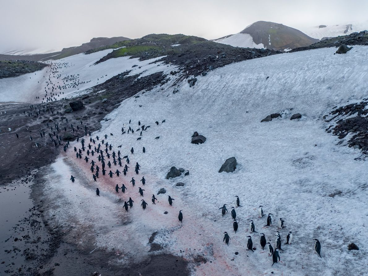 Chinstrap penguins waddle toward their nesting sites at Baily Head on Deception Island, the caldera of ...
