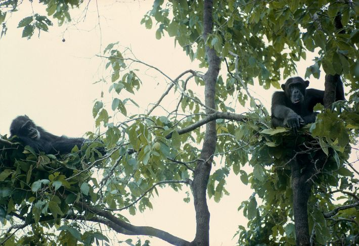 Rainy weather routine: To escape the cold, damp ground, two mature males rest among branches in ...