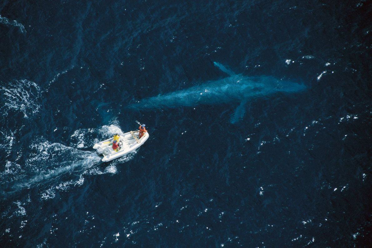 Researchers attempt to satellite tag blue whales off the coast of California. Blue whales, the largest ...