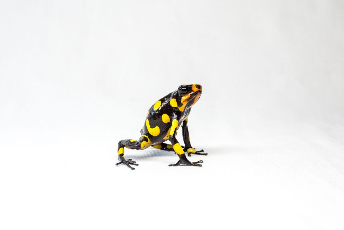 In the wild, the colourations of the harlequin poison frog can vary from one valley to ...