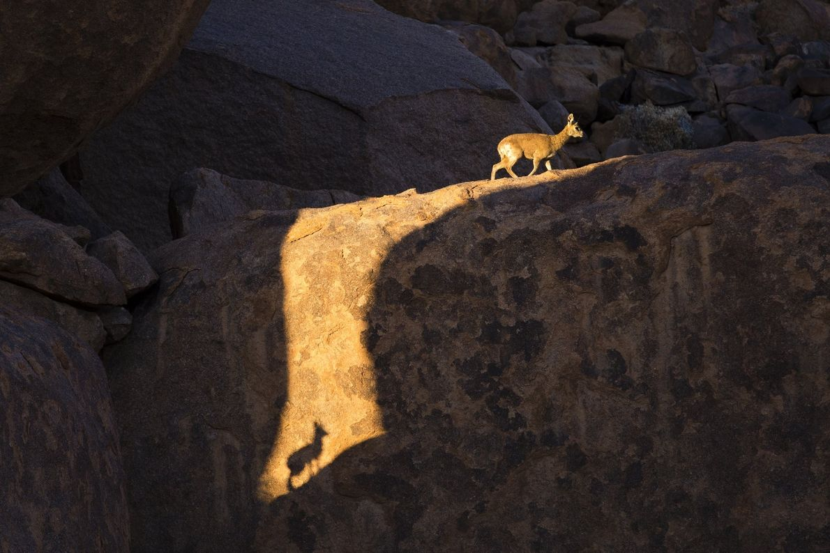 """""""I was following a group of klipspringer at Kokerboomkloof in the Richtersveld National Park, South Africa, ..."""