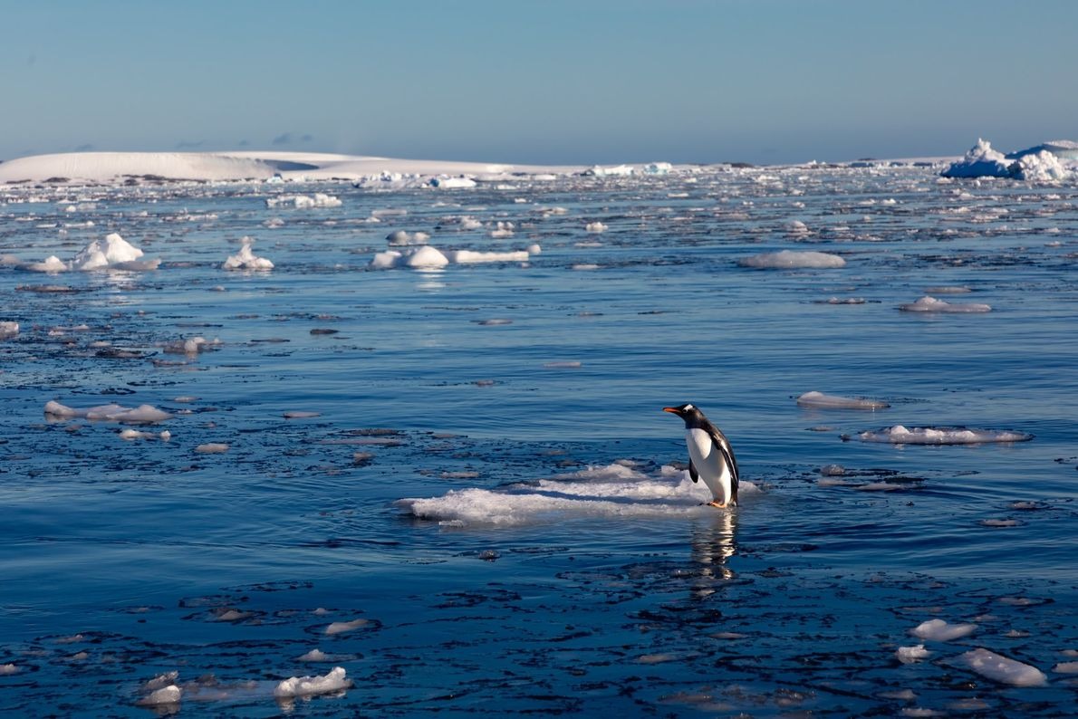 """""""When I saw this lone gentoo penguin standing on a small piece of ice in the ..."""