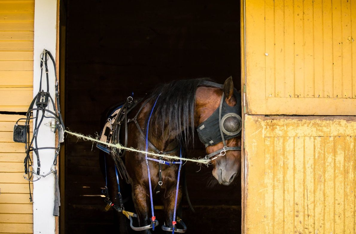 """""""A Standardbred harness racing horse tied in the stall and waiting for his post time,"""" writes ..."""
