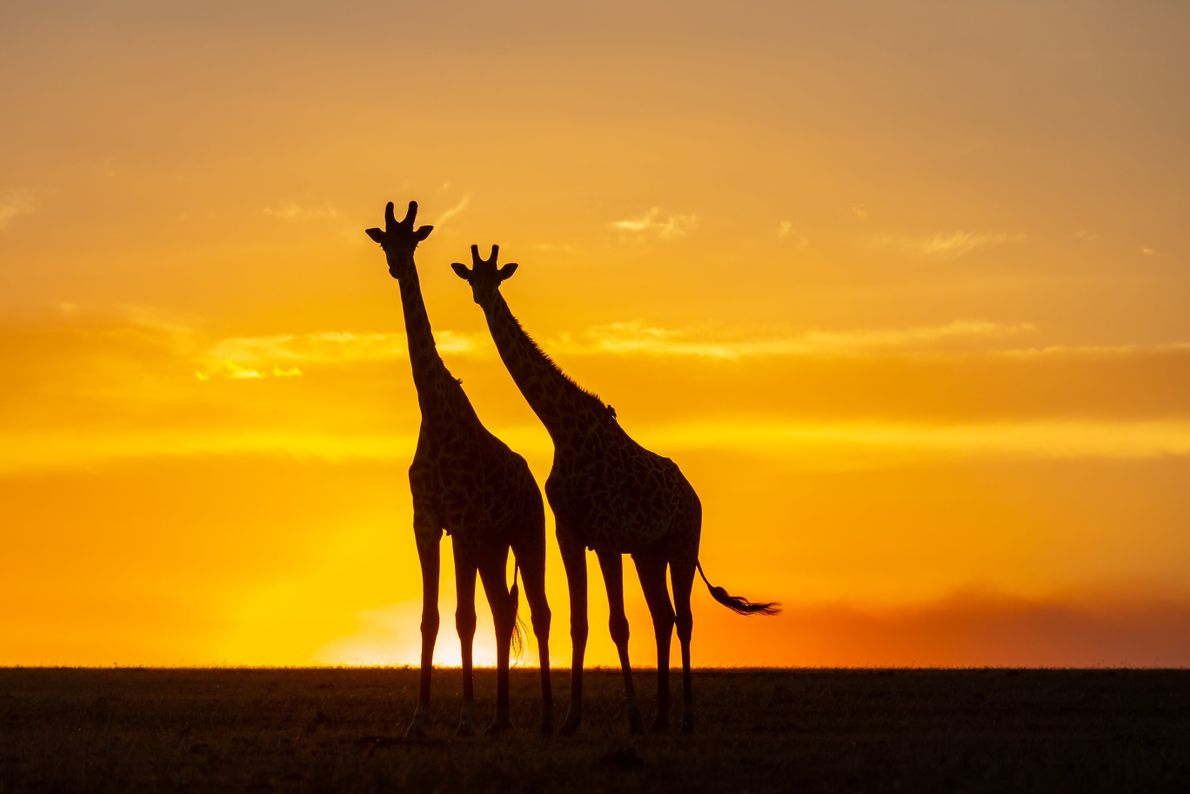 Your Shot photographer Keren Wang documented these giraffes as they are silhouetted against a golden sky ...