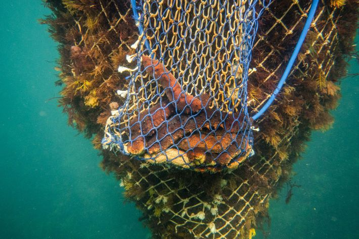A diver's nets hold a few sea cucumbers and a bundle of seaweed. Of the more ...