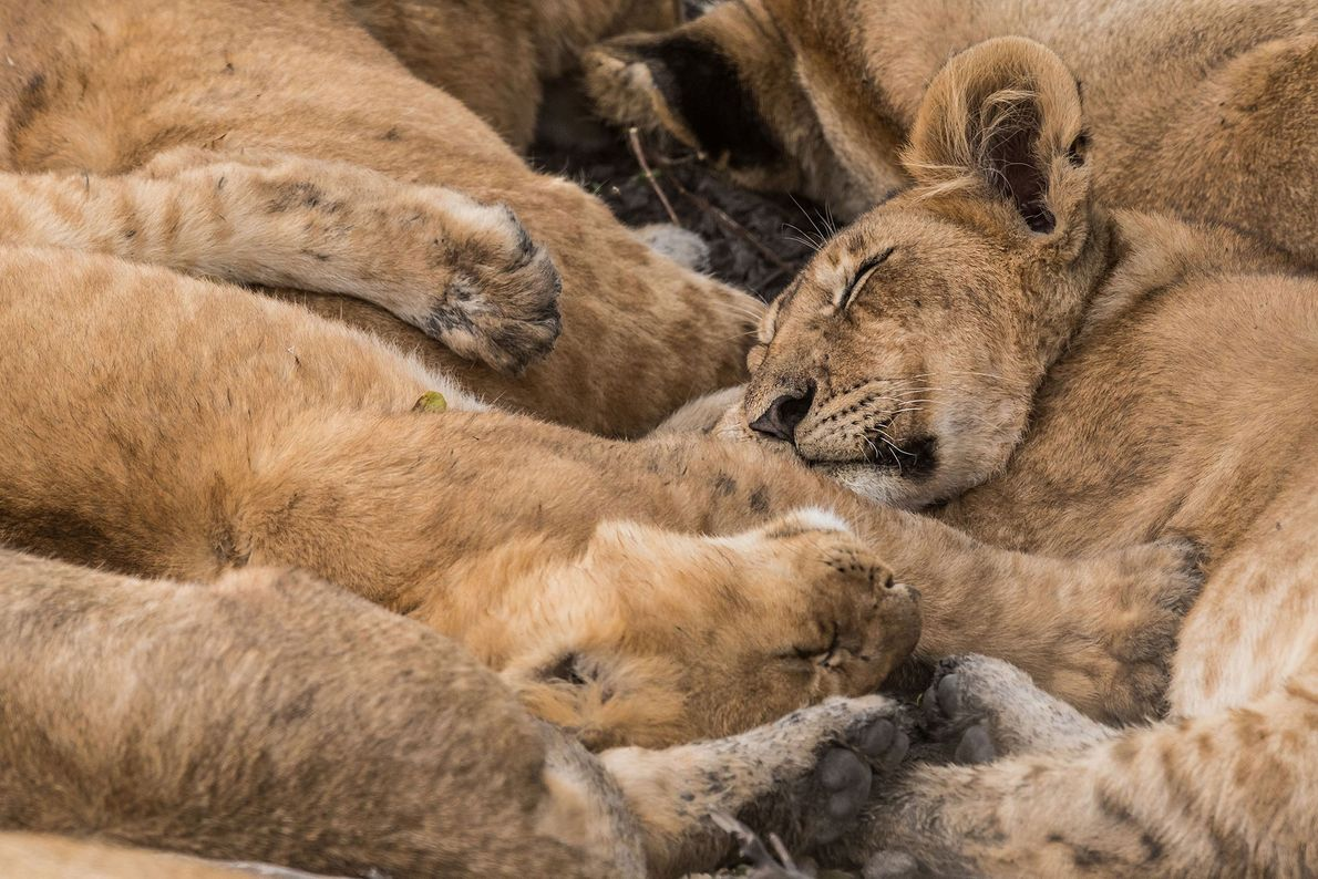 A pride of lions sleeps together in the Masai Mara National Reserve in Kenya.