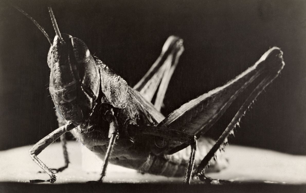 Grasshoppers are famous for their songs, which some make by rubbing their hind legs together.