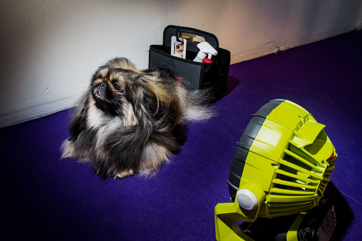 Francisco, a Pekingese, stays cool with his own personal fan.