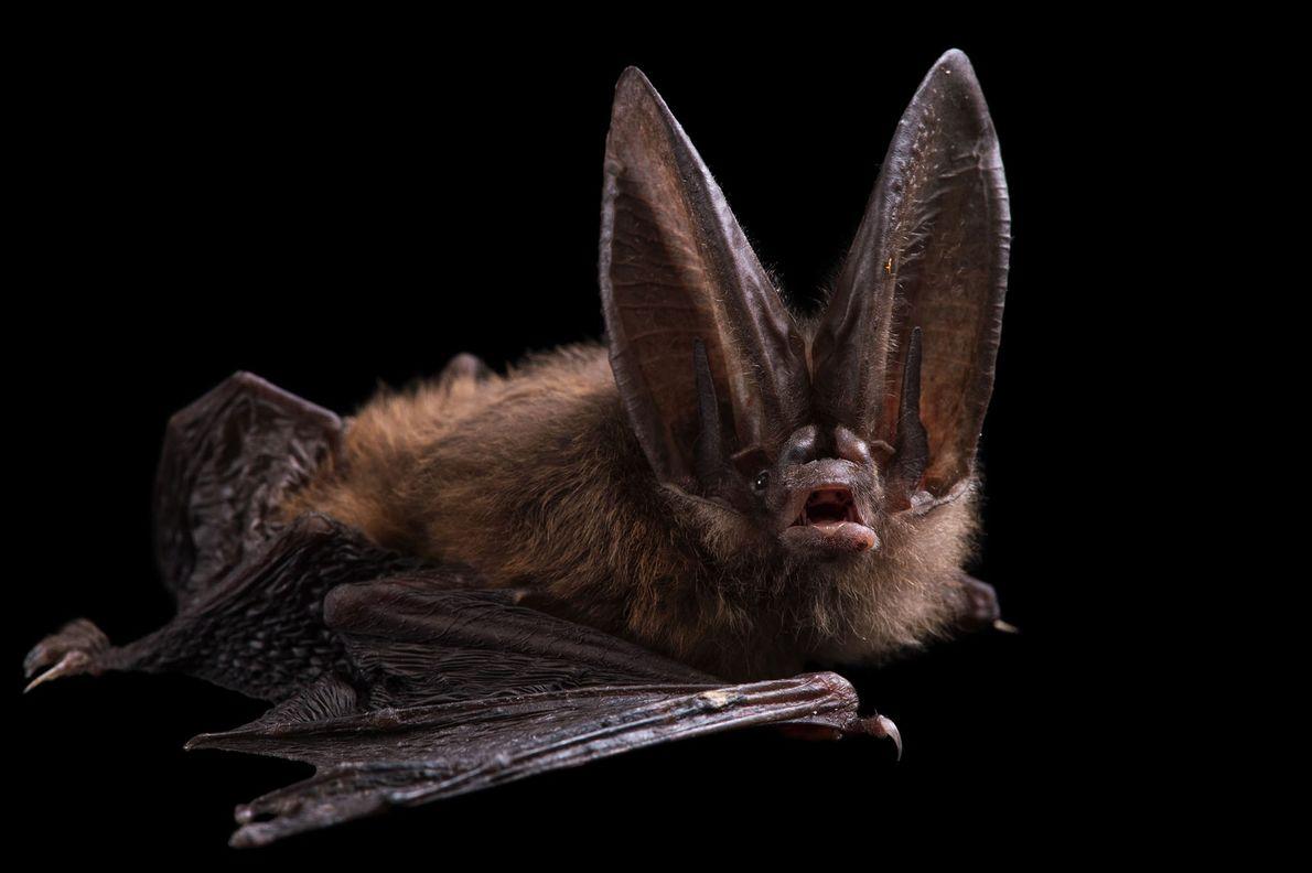 A Townsend's big-eared bat, Corynorhinus townsendii, at the Sulphur Creek Nature Centre.