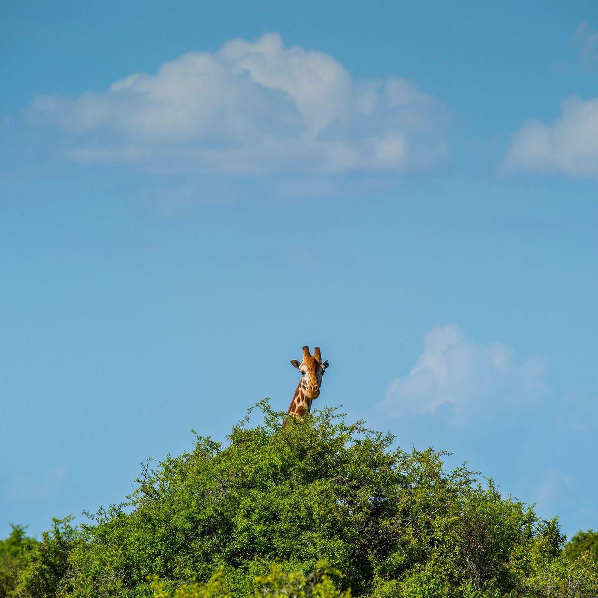 A giraffe fawn grazes from a tree in Loisaba Wilderness in northern Kenya. Giraffes' primary food ...