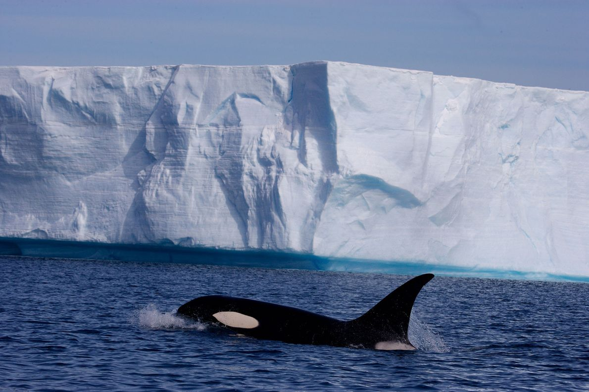 Orcas can be found in any ocean but often frequent cold coastal waters. Here an orca ...
