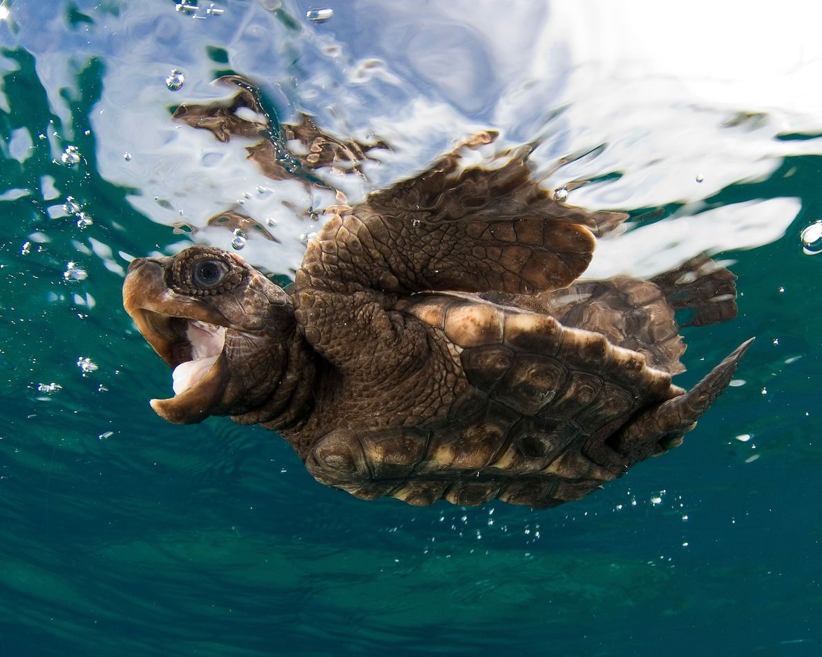 A baby loggerhead sea turtle swimming near the surface.